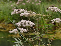Bee life (Englepip) Tags: water bees insects plants outdoors waterhemlock algae bumble dof