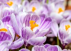 Spring (Karen_Chappell) Tags: flower floral nature macro crocus purple yellow white flowers canonef100mmf28usmmacro pastel newfoundland nfld stjohns canada atlanticcanada avalonpeninsula