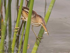 Least Bittern Catching Lunch in Explore Apr 21 2017 (rosemaryharrisnaturephotography) Tags: leastbittern leastbitternwithfish bittern florida marsh water reeds rosemaryharris bird daytime blue nature wildlife birdeating green light canon7dmk11 canon400mmf56usmseriesllens marshbirdlife birdinhabitat coth ngc coth5 npc