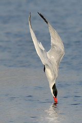Before the Splash (bmse) Tags: caspian tern diving bolsa chica canon 7d2 400mm f56 l bmse salah baazizi wingsinmotion