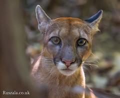Puma#1_WM-4 (simon ruszala) Tags: pumaconcolorcostaricensis centralamerica corcovado costarica cougar jungle nationalpark puma rainforest sanpedrillio simon ruszala