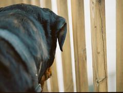Big Doggy (ResistForever95) Tags: julio dog rottweiler rotty mamiya mamiyam645 m645 120film portra porta400