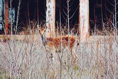 Camuflaje (leozerep) Tags: caprapyrenaica hocesdecabriel naturaleza camuflaje animales