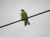Social Flycatcher (Clothespin Lady) Tags: socialflycatcher