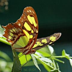 Malachite Butterfly, Siproeta stelenes (woohit42) Tags: butterfly naturalhistorymuseumoflosangelescounty bugs canonef100mmf28lmacroisusm canon5dmarkiv canon nature