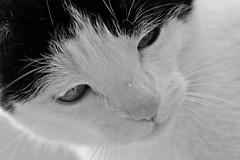 Maniek - My furry sweetness:-)) (eggii) Tags: cat maniek furry sweetness canon macro 100mm usm