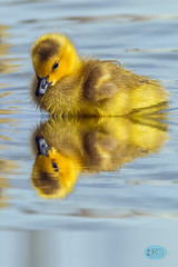 0423 IMG_8970 (JRmanNn) Tags: gosling duckling sunsetpark reflection yellow paradise