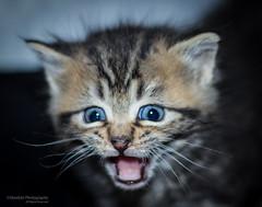 Krabby Kitten (Skyelyte) Tags: kitten cat animal portrait crying pet blueeyes tiger tigerkitten screamer meow 3weekoldkitten tiny baby little stripes
