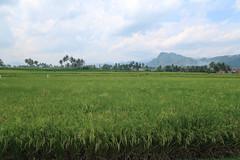 IMG_0170 (syafiqqzz) Tags: bukittinggi bukit tinggi padang west sumatra sumatera barat marapi singalang paddy