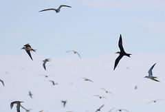 Canon2017.03.17 2752 (seahorse19911) Tags: birds brittanyanddadsvisit canon20170317 drytortugas florida floridakeys sootyterns brownnoddy