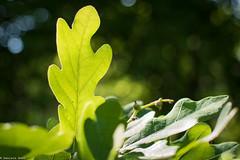 FOGLIA (ilBovo) Tags: 24mm stm foglia verde green leaf macro sfocato 28 canon