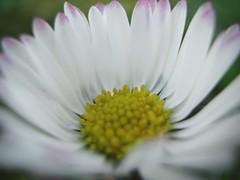 Kwiat (maciey24) Tags: kwiat flower flowers kwiaty kwiatek biały białe płatki zbliżenie makro macro plant plants spring white yellow żółte żółty przyroda park natura nature