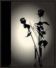 Mi rivolgo a te (aNNa schramm) Tags: sw fotorahmen shadow schatten lichtundschatten bw flora rose poesie