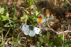 Come Here Often? (12505) (jonathanclark) Tags: spring sun kinnegar belfast belfastharbourestate urban industrial northernireland butterfly orangetip insect invertibrate breeding nature natural wild wildlife mating flight male female macro