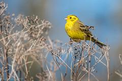 Bruant jaune (DorianHunt) Tags: birds bokeh yellowhammer yverdon switzerland march 2017 nikond500 sigma 150600mm