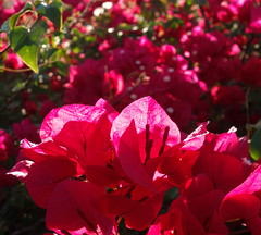 You Gathering or Scattering?_DSC04198a (jaciii (off&on)) Tags: withmeoragainstme lovestory howthinkthelakesice bougainvilleas red white green themarshallproject openingstatement