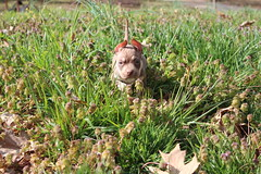 Ragetti the Tiny! (sfreeman8875) Tags: dog husky fost foster pup adorable wet spring cuddle mut pit pitbull pibble cleaning grass exploring