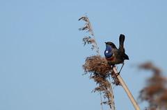 gorgebleue à miroir ( Luscinia svecica ) Erdeven 17032f2 (papé alain) Tags: oiseaux passereaux muscicapidés gorgebleueàmiroir lusciniasvecica bluethroat erdeven morbihan bretagne france