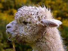 Enjoying the grass !! (rustyruth1959) Tags: nikon nikond3200 tamron16300mm derbyshire uk gettyimages animal outdoor alpaca chewing eyam grass eyamplaguevillage farm domesticanimal wool rain damp eye mouth neck ears dof profile alpacaprofile portrait