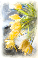 Falling (sbox) Tags: flowers tulips yellow spring watercolor watercolour digitalwatercolour digitalpainting