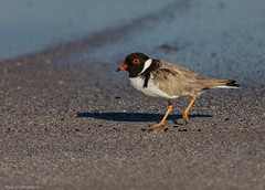 Hooded Plover Thinornis rubricollis Charadriidae (Mykel46) Tags: talia southaustralia australia au hooded plover birds nature wildlife canon natur black white red sand water surf rare