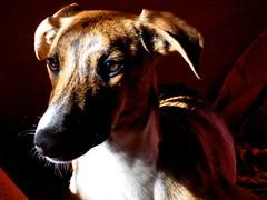 DSCN7373 (dina.elle) Tags: galgo levrierospagnolo animali cane razza spagna galgueros tigrato attento ritratto occhi sguardo intelligenza luci ombre interno