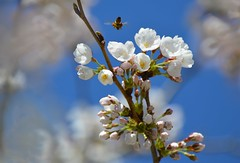 Can You Bee-lieve It's Spring ? (Greg's Southern Ontario (catching Up Slowly)) Tags: cherryblossoms flowers springtime bees