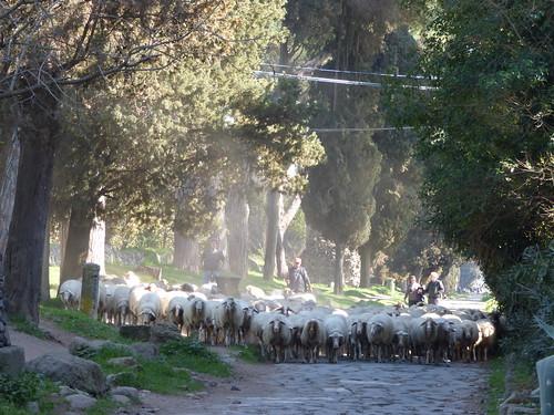 Rome - via appia antica, sheep