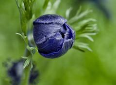 In my garden #3 (celestino2011) Tags: bocciolo anemone blu nature macro fiore nikond7000