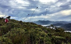 Mt Beattie. Zoe. Button grass.