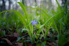 purple one (severalsnakes) Tags: 365 kansas m3528 pentax saraspaedy shawnee shawneemissionpark flower k1 manual manualfocus wildflower