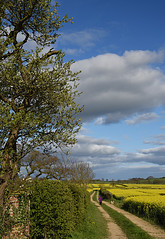 The Purple Coat (Vide Cor Meum Images) Tags: mac010665yahoocouk markcoleman markandrewcoleman videcormeumimages vide cor meum nikon d750 yellow fields field rapeseed spring purple yorkshire paths