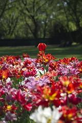 _DSC0718 (Riccardo Q.) Tags: parcosegurtàtulipani places parco altreparolechiave fiori tulipani segurtà