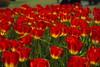 _DSC0771 (Riccardo Q.) Tags: parcosegurtàtulipani places parco altreparolechiave fiori tulipani segurtà