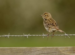 Meadow Pipit (Severnrover) Tags: bird meadow pipit migrant spring summer fence barbed wire