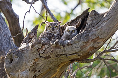 Gret Horned Owl and Owlet (wlb393) Tags: greathornedowl owlet birds sycamoregrove livermore s8k8335