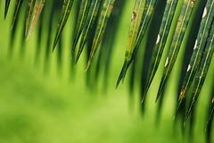 On living (halukderinöz) Tags: yaprak leaf palmiye palm nazım hikmet uganda kampala