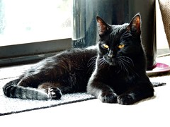 Plotting (knightbefore_99) Tags: noir black cat kitty kitten furry smart golden eyes gato chat awesome beauty baby feline watch whiskers art