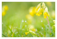 Cowslip-Primula veris........66 in Explore (frattonparker) Tags: nikond810 tamron28300mm raw lightroom6 frattonparker btonner isleofwight bokeh dew dof thebestyellow