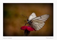 Le Souffleur de Fer / Papillon IR2 Vg Bd Sg2 IMG_8153 (thierrybarre) Tags: papillon gazé pieride fer forgé noir et blanc aporia crataegi blackveinedwhite