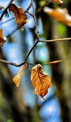 Feuillage de fin d'hiver (LT.:.) Tags: feuille feuillage jaune hiver
