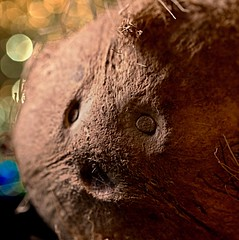 A seedy looking fellow (johnsinclair8888) Tags: coconut seed macromondays nikon macro bokeh nut art brown dof sigma 105mm d750 johndavis memberschoiceseeds sliderssunday