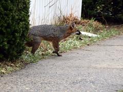 foxinbristol-BR-040717_7119 (newspaper_guy Mike Orazzi) Tags: fox federalhill bristol animalcontrol rabies 18200mmf3556gvr d500