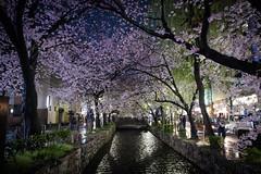 Kyoto Blooms (sleepymeepy) Tags: sakura kyoto japan cherry blossoms spring canal flowers bloom hanami trees river bridge