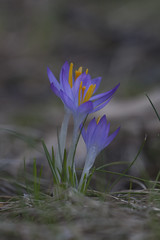 Easter Crocus (wiltsepix) Tags: easter crocus grass michigan spring