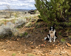 Joey - Trail Buddy (ex_magician) Tags: moik photo photos picture pictures image lightroom adobe adobelightroom lavabedsnationalmonument lavabeds nationalmonument tulelake california northerncalifornia lava joey jojo dude duder elduderino foodeater newdog trailbuddy interesting thelittledoglaughed bordercollie cowdog