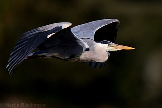 Grey Heron in flight 7395(6D2)