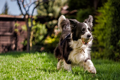 The rocket Tila (n.karpiewska) Tags: border collie bordercollie dog happy green grass pies pasterski pet spring wiosna shepherd pentax kx helios m42 old lens wroclaw wrocław europe europa poland polska lower silesia outdoor garden bc