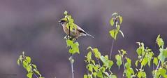 J78A0508 (M0JRA) Tags: birds parks gardens rspb lakes ponds fields trees nature