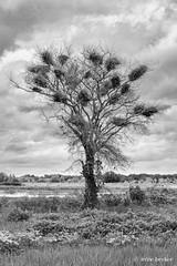 The Tree (Irene Becker) Tags: africa argungu imagesofnigeria kebbistate landscape nigeria nigerianimages nigerianphotos northnigeria westafrica birdnests northernnigeria tree kebbi blackandwhite monochrome